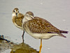 Lesser Yellowlegs and Semi-palm Sandpiper, a beach, Kennebunk ME, Digiscoped, ZEISS DiaScope 65FL