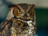 Great Horned Owl, PhotoScope 85T*FL