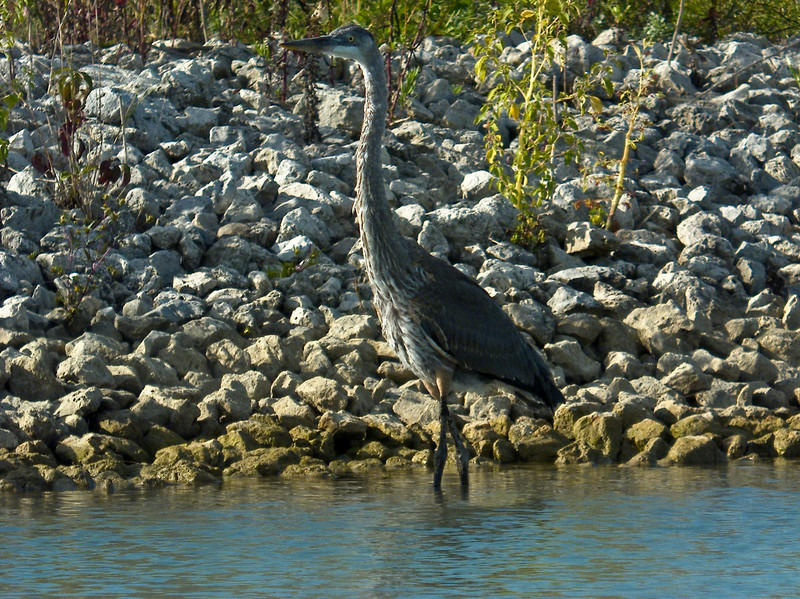 Great Blue Heron, PhotoScope 85T*FL