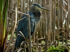 Great Blue Heron, PhotoScope 85T*FL
