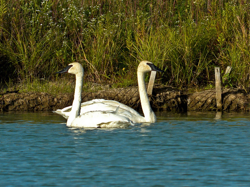 Tundra Swan, PhotoScope 85T*FL