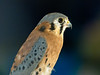 Am. Kestrel, PhotoScope 85T*FL