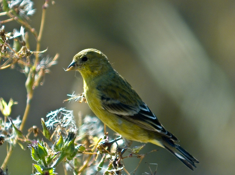 Am. Goldfinch, PhotoScope 85T*FL