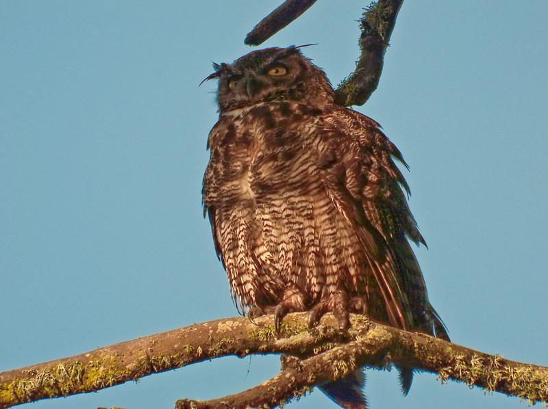 Great Horned Owl, PhotoScope 85T*FL