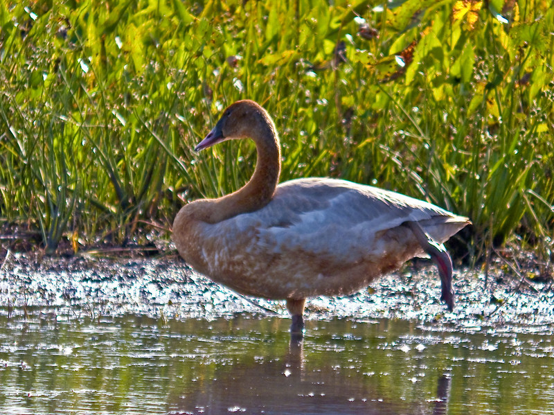 Tunda Swan (im), PhotoScope 85T*FL