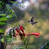 Hummingbird ~ Oil Painting Effect