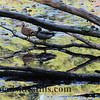 Ducks in Fall Colors - Oil Print 351A