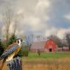 American Kestrel hawk