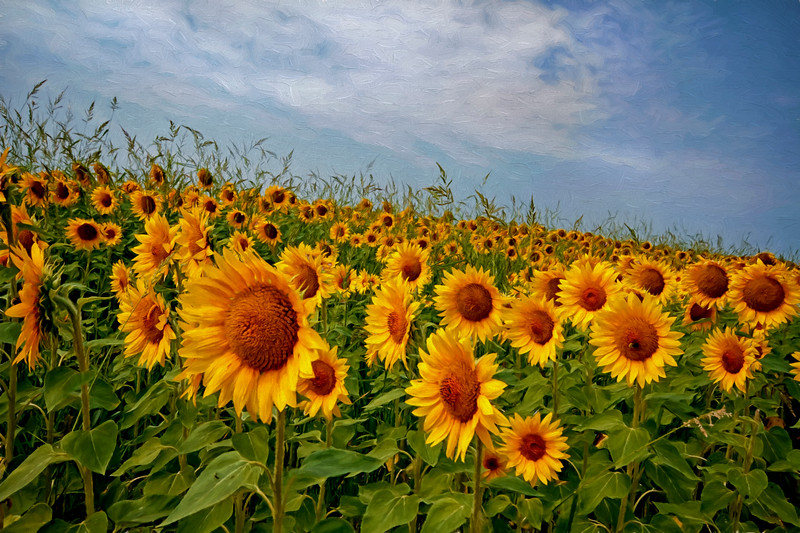 Make me smile, a sunflower field