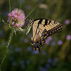 Tiger Swallowtail pink and purpl