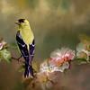 Gold Finch Spring