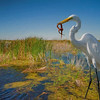 Great Egret witn snake