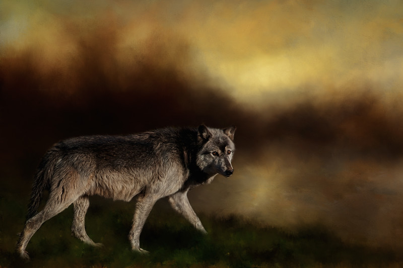 gray wolf - digital art