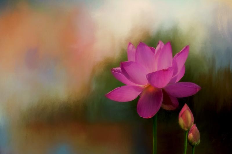Lotus flowers in the mornin