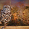Barred Owl atumn