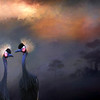 African Crowned crane pair
