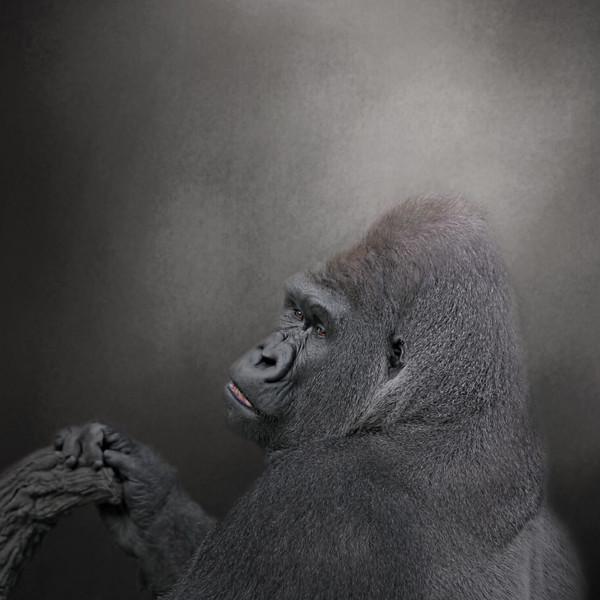 Silver back gorilla, mal