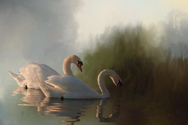 mute swans taken near Cincinnati, Ohi