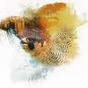 Peregrine Falcon - square forma