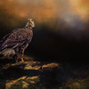 American Bald Eagle, Juvenil