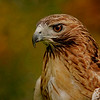 red taile hawk