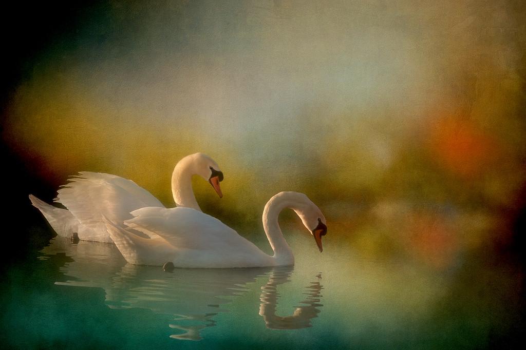 Mute Swan Morning