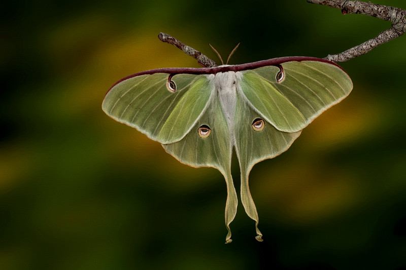 Midnight's Monarch -Luna moth, female