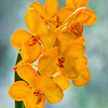 Yellow Vanda Orchid
