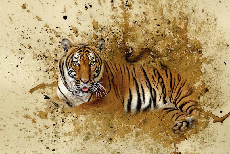 Bengal Tige