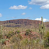 Saguaro cactus in the Sonoran desert