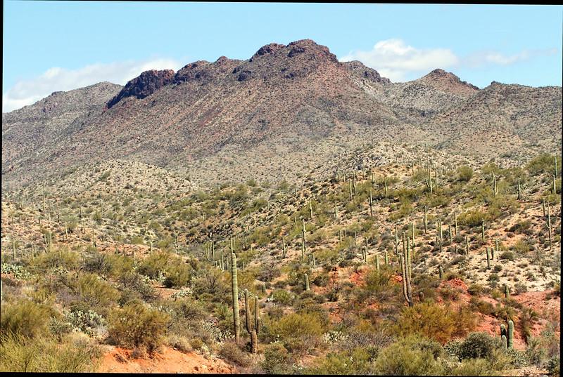 Sonoran desert, saguaro cactus