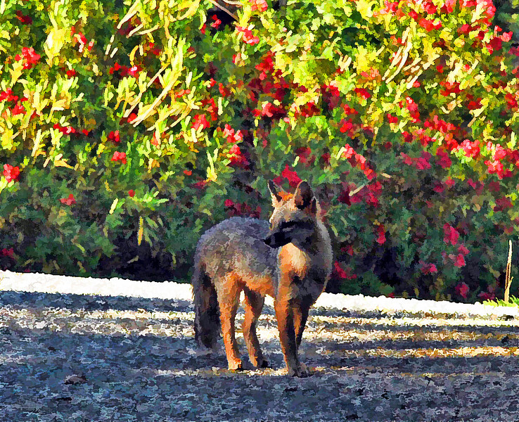Grey Fox  Among Red Berries