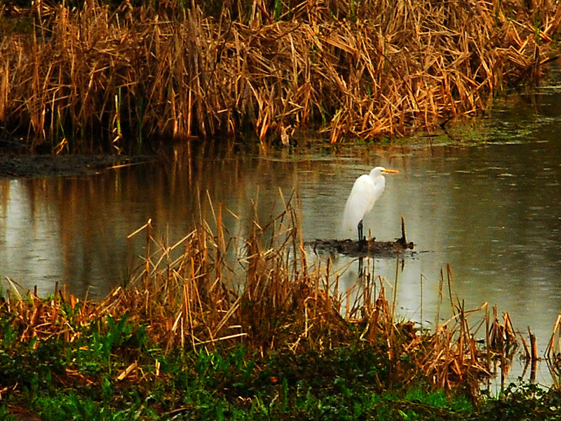 Great White Egret on an Alta Sierra  pond