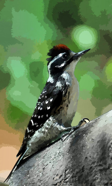 Male Nuttall Woodpecker
