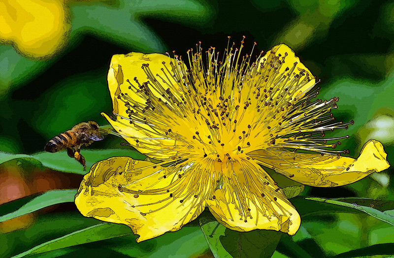Honey Bee Landing on Hypericum