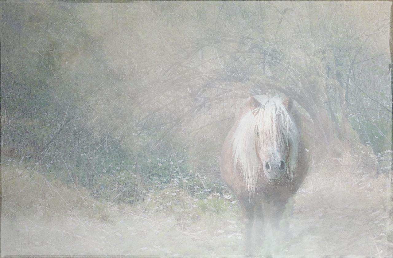 Aprikoz, the Shetland pony.