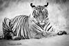 Tiger cub at rest