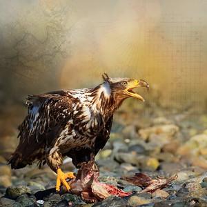 Juvenile Bald Eagle Digital Art