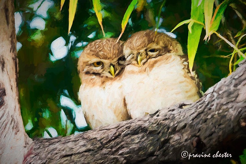 Spotted owls in a tree