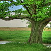 Mighty Oak in Spring