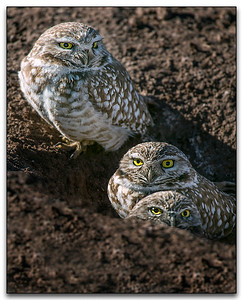 Burrowing Owls - First Place Nature and Overall top Score for April