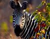 DN(2) Crayshay's Zebra in Omaha