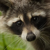 DN(1) Curious Raccoon