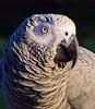 DA African Gray Parrot in Omaha
