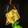 DC(3) Fiery Rose