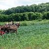 Janice Kinzle Amish Farming WI