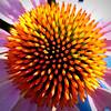 N(2) Dave Tollefsrud Cone Flower Burst