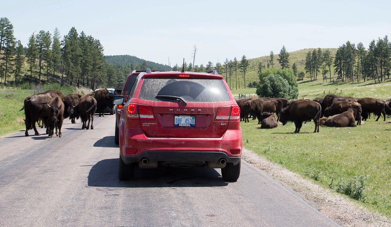 Larry Cameron Buffalo Jam in Custer State Park