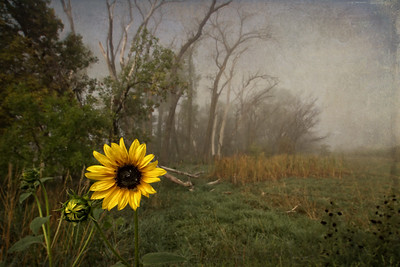 Foggy Sunflower - Third Place Pictorial