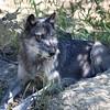 A - Watchful Wolf